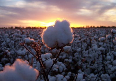 Cotton 2040: Global coalition launches sustainable cotton initiative