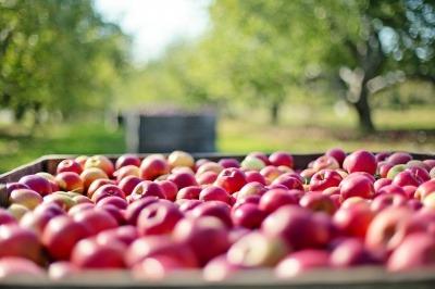 Apples at a fruit farm
