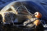 Waste entanglement poses greatest threat to marine life
