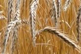Consortium to investigate straw residues for bioplastic manufacture