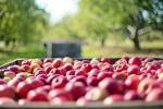 Apples on a food farm