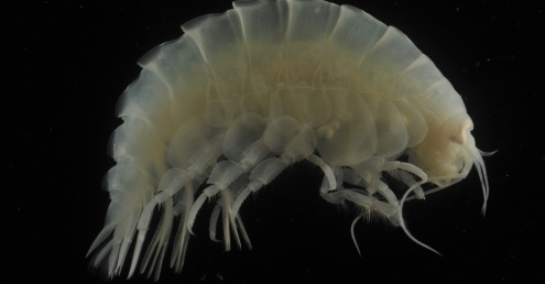 Microplastics found in stomachs of organisms living in the deepest part of the Pacific Ocean