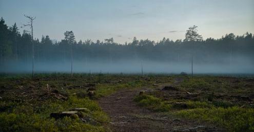 Field of tree stumps