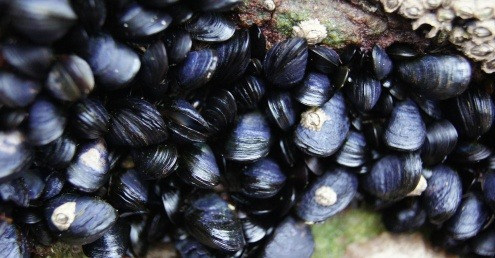 An image of wild sea mussels, which could be used to filter microplastics out of the water